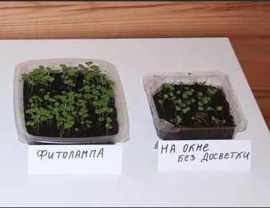 Сравнение роста рассады с фитолампой и без досветки
